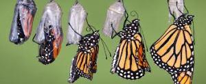 transformatierupsvlinder