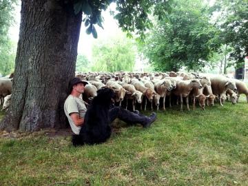 schapen boom