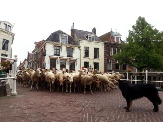 schapen rap
