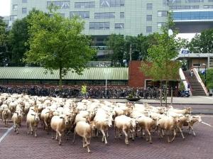 schapen ROC