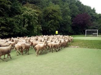 schapen voetbal